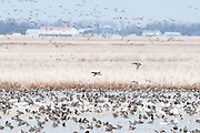 Snow Geese, Chen caerulescens, Northern Pintails, Anas acuta, Brown County, South Dakota