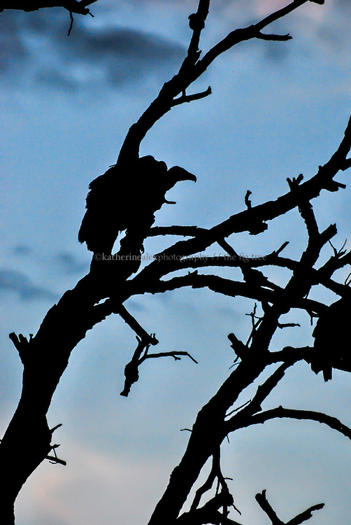 Silhouette of vulture in tree at dusk, Kruger.<br />