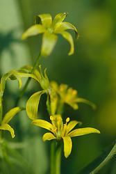 stinzenflora