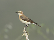 Black-eared Wheatear - Oenanthe hispanica - eastern race female, pale throated form