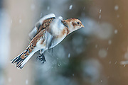 """The Snow Bunting (Plectrophenax nivalis), sometimes colloquially called """"snowflake"""", is a passerine  bird in the bunting family Emberizidae. It is an arctic specialist, with a circumpolar Arctic breeding range throughout the northern hemisphere. These photos are taken in Grimsey, Iceland"""