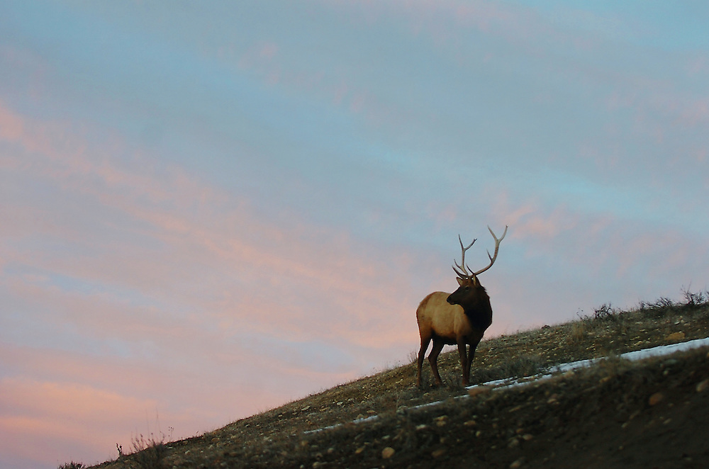 A bull elk searches for food during winter.
