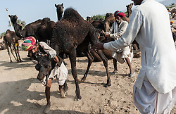 "© Licensed to London News Pictures. 21/11/2012. Pushkar, India.  Three Indian camel traders struggles with their out-of-control camel at the Pushkar Camel Fair in Rajasthan, India. The Pushkar Fair, or Pushkar ka Mela, is the annual five-day camel and livestock fair, held in the town of Pushkar in the state of Rajasthan, India. It is one of the world's largest camel fairs, and apart from buying and selling of livestock it has become an important tourist attraction and its highlights have become competitions such as the ""matka phod"", ""longest moustache"", and ""bridal competition"".  Photo credit : Richard Isaac/LNP"