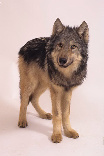 Gray Wolf, (Canis lupus) On white background.  Captive Animal.