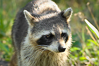 This Sanibel Island racoon was obviously very used to people, and it came up to sniff the end of my camera lens.