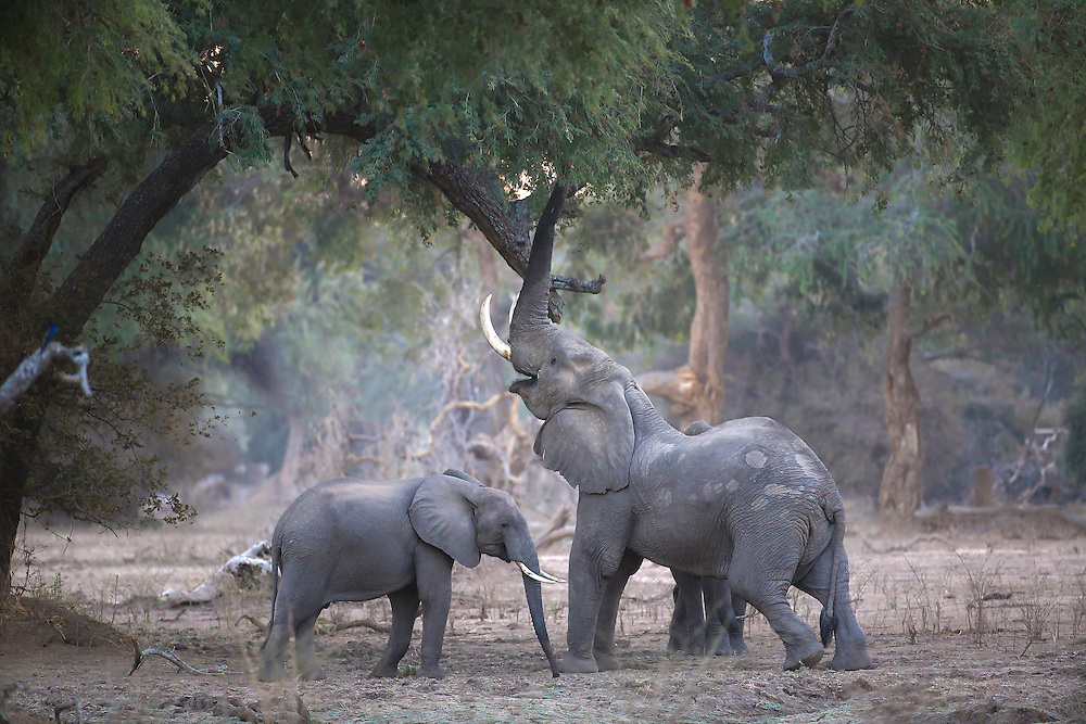 Elephants feed from the canopy of the forest in Mana Pools, Zimbabwe.