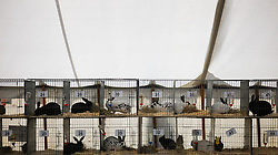© Licensed to London News Pictures.29/08/15<br /> Bilsdale, UK. <br /> <br /> Rabbits wait in cages in the fur and feather tent ahead of judging during the 105th Bilsdale Country Show in North Yorkshire.<br /> <br /> Photo credit : Ian Forsyth/LNP