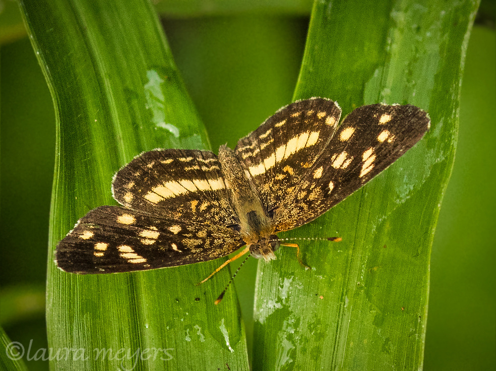 Pale-banded Crescent Butterfly green plant photographed in Costa Rica.