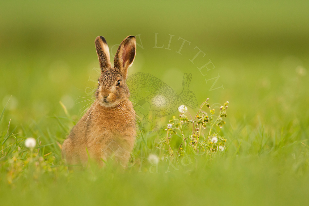 European Hare (Lepus europaeus) juvenile in field margin, Norfolk, UK.
