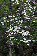Eddie's White Wonder Dogwood blossoms(bybrid between Cornus nuttallii x Cornus florida).  This hybrid was developed between the Pacific Dogwood and the Flowering Dogwood partly to avoid the fungus that damages the Pacific Dogwood.