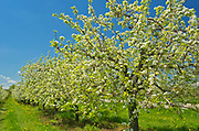 Apple orchard in spring<br />