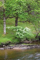 Hawthorn by river. Crataegus monogyna