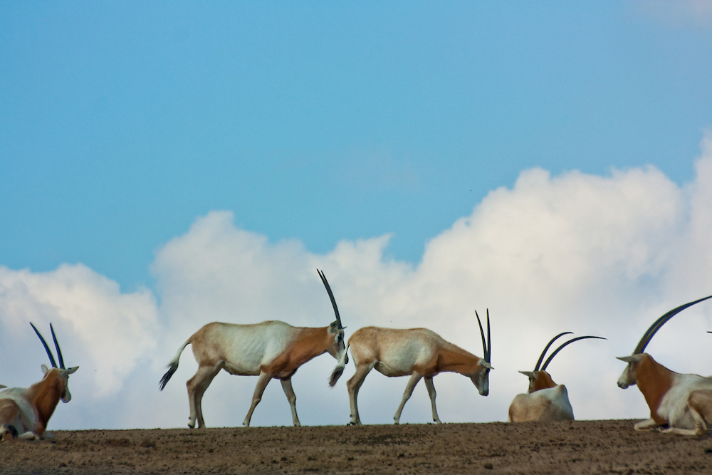 A herd of Oryx gazella against the sky