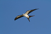 Swallow-tailed Kites move into the Southern USA to breed in the summer months, feeding on amphibians, reptiles, small mammals and birds, and sometimes insects.