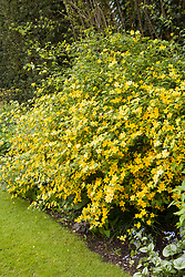 Kerria japonica (Jew's Mantle) in the Winter Garden at Manor Farm House in early May