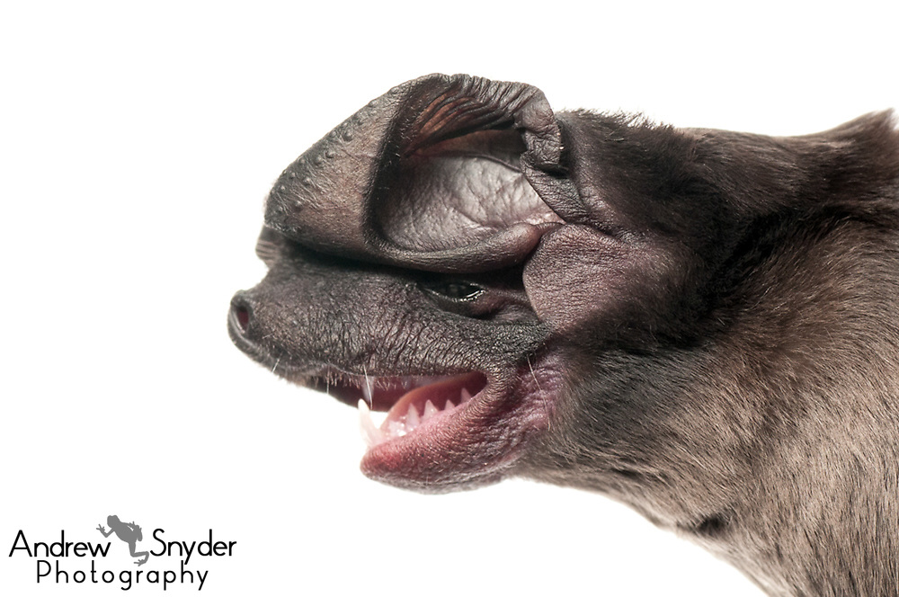 Sanborn's bonneted bat (Eumops hansae) - Guyana