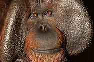 Bornean orang-utan [Pongo pygmaeus] .Portrait of an adult male orang-utan. Adult male orangutans have sweeping cheekpads as secondary sexual characteristics. They grow for a lifetime and are therefore most clearly pronounced in older individuals. The cheekpads reinforce the calls of the males, which they produce with their large throat sac around so fertile females. The cheekpads of  Bornean orang-utan are considerably larger and more pronounced than his relatives in Sumatra, which are generally more delicate build.. .Borneo-Orang-Utan (Pongo pygmaeus).Portrait eines adulten Orang-Utan-Mannes. Ausgewachsene Orang-Utan-Männer besitzen ausladende Backenwülste als sekundäre Geschlechtsmerkmale. Sie wachsen ein Leben lang und sind daher bei Älteren Individuen am deutlichsten ausgeprägt. Die Backenwülste verstärken die Rufe der Männchen,  die sie mit ihrem großen Kehlsack produzieren um damit fruchtbare Weibchen anzulocken. Die Backenwülste sind beim Borneo-Orang-Utan wesentlich größer und deutlicher ausgeprägt als bei seinem Verwandten auf Sumatra, der allgemein zierlicher gebaut ist..