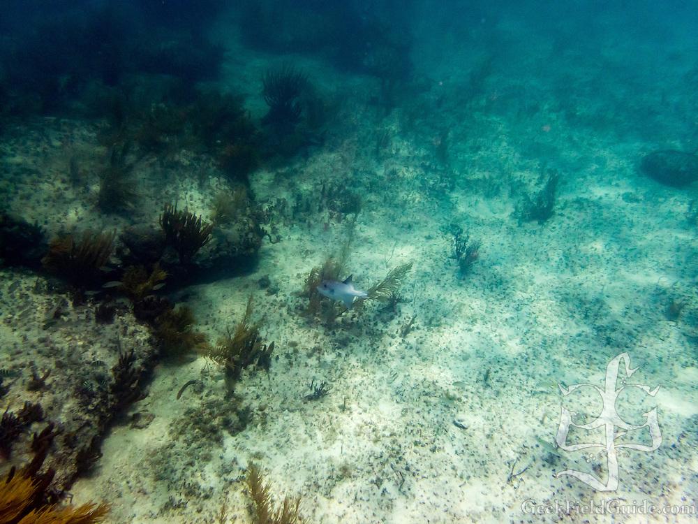 Ocean Triggerfish at Bimini Road