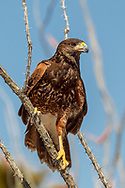 Juvenile Harris's hawk perches on an ocotillo stem, © 2011 David A. Ponton