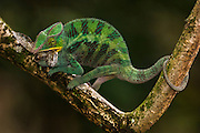 Panther chameleon (Furcifer pardalis) FEEDING from Tamatave eastern rain forest. MADAGASCAR<br /> This is a medium to large species growning up to 520mm. It is a true chameleon as it possesses a prehensile tail. This plus its opposable, fuxed fingers help it adapt to its arboreal life. Pardalus lacks occipital lobes and without real nasal appendages but has a conspicuous protruding rostral border. It is renowned for the high number of regional color morphs and dramatic color changes. Most dramatic color changes observed in courting males. Oviparous - female laying 12-46 eggs, buried in the ground. Young hatch after 159 - 384 days and measure +-55mm.<br /> RANGE: Locally abundant in forests found in the north and north east of Madagascar but also in open habitats  as they are able to inhabit degraded secondary forest areas.<br /> Two species of Panther chameleon are also found in the Comores and one in Reunion Island.<br /> Chameleons are well-known for their special adaptions: Ability to change color rapidly to either match their surroundings or to reflect their mood. They have the capacity to move their turreted eyes independently of each other which allows them to look in different directions simultaneously. They also capture their prey with the rapid firing of their tongue which can extend to approximately half of their body length and is ended with a kind of gluing hammer.<br /> Furcifer pardalis is CITES 11 classification and is allowed the CITES Animal Committee to be exported from Madagascar - mainly for the pet trade.<br /> There are more than 150 species world wide and over half of those are only found in Madagascar. All species on the island are Native.