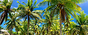 Coconut, Palm, Tree,  Fatu Hiva, Marquesas, French Polynesia, South Pacific