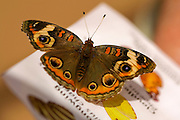 Close up shot of a Buckeye butterfly on the garden butterfly guide. Shot at the Desert Botanical Gardens in Phoenix, Arizona