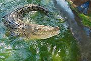 Australian crocodile in water in Queensland, Australia.