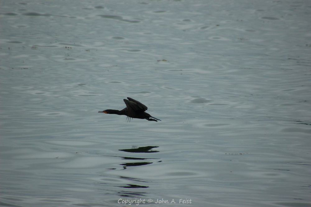 A cormorant in full flight over Long Island Sound at Stone Creek, CT