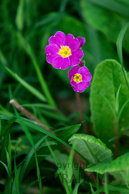 Primrose growing in woodland, England