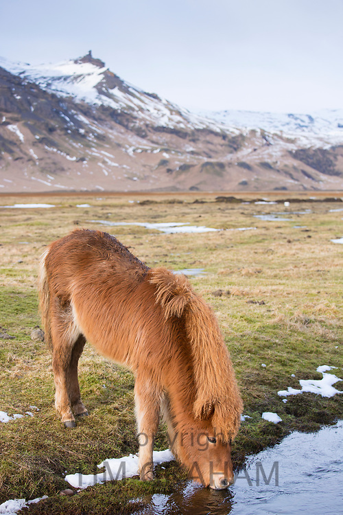 Cute shaggy-haired typical Icelandic pony drinking water in South Iceland