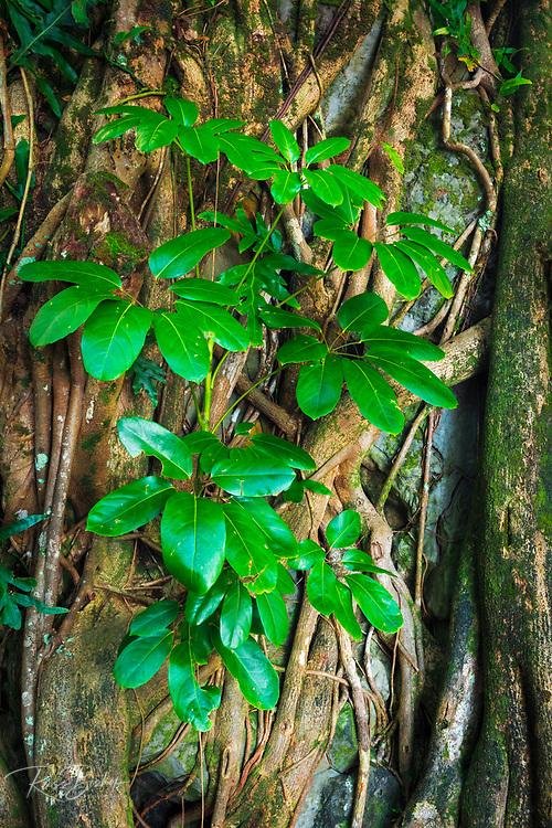 Tree roots and shoots, Onomea Bay, Hamakua Coast, The Big Island, Hawaii USA