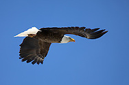 Bald Eagle in Flight, Pinedale, Wyoming