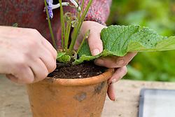 Taking leaf cuttings from streptocarpus using the Midrib Cuttings method<br /> Removing leaf