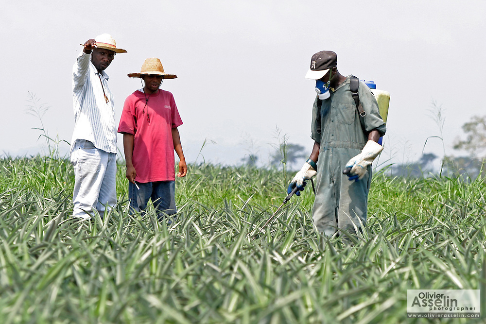 Supervisors looking over worker spraying chemicals on pineapple crops
