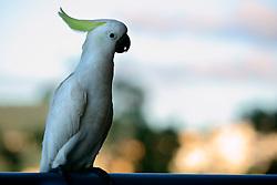 AUSTRALIA QUEENSLAND AIRLIE BEACH 21FEB08 - Sulphur crested Cockatoos in Airlie Beach, Queensland...jre/Photo by Jiri Rezac..© Jiri Rezac 2008..Contact: +44 (0) 7050 110 417.Mobile:  +44 (0) 7801 337 683.Office:  +44 (0) 20 8968 9635..Email:   jiri@jirirezac.com.Web:    www.jirirezac.com..© All images Jiri Rezac 2007 - All rights reserved.