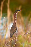 Arthur R. Marshall Loxahatchee National Wildlife Reserve, Wellington, Florida, USA. Green Heron (Butorides virescens)