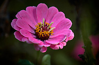 Pink Dahlia Bloom. Autumn flowers in my garden. Image taken with a Fuji X-T2 camera and 100-400 mm OIS telephoto zoom lens (ISO 200, 400 mm, f/5.6, 1/320 sec).