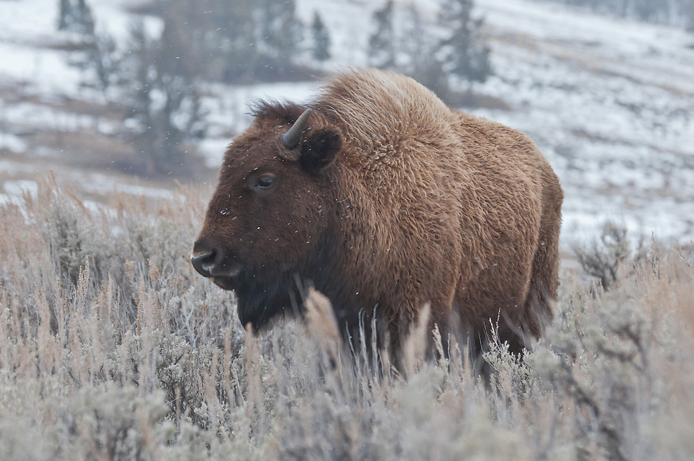 American bison (Bison bison) in Yellowstone National Park, Wyoming.