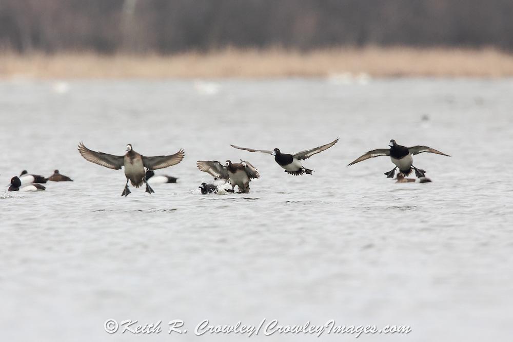 Greater scaup (bluebills) in flight