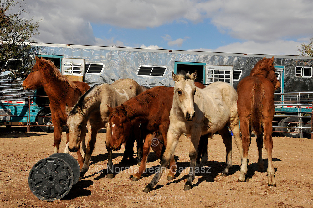 Six foals saved from slaughter from the PMU drug industry in Canada arrive at Equine Voices Rescue & Sanctuary in Green Valley, Arizona, USA, on December 21, 2011.