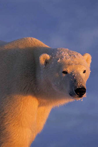Polar Bear, (Ursus maritimus) Portrait. Illuminated in alpenglow. Churchill, Manitoba. Canada.