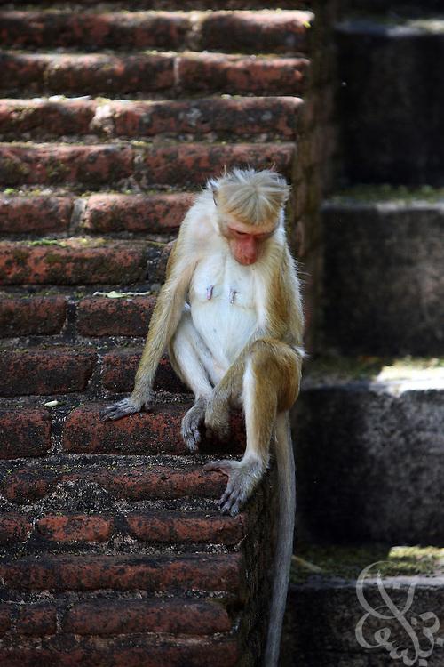 A monkey sits among the ruins of Polonnauruwa, Sri Lanka August 14, 2008.