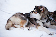 Portrait of a husky as it restst after pulling a sled. It has the characteristic piercing, light-coloured eyes classically associated with the breed,