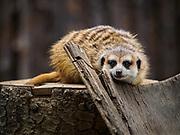 Meerkat at the San Diego Safari Park