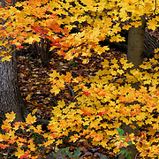 """Orange Tipped Maples""<br />