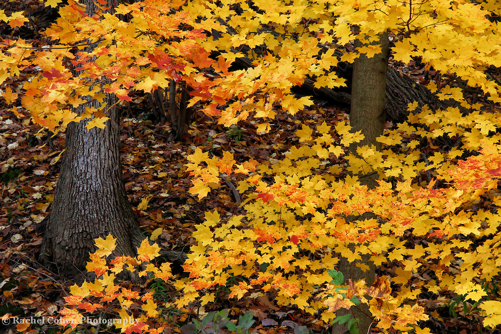 &quot;Orange Tipped Maples&quot;<br />