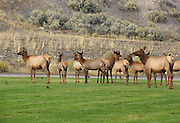 Elk cows gather on a hotel lawn at Mammoth Hot Springs, Yellowstone National Park, Wyoming, USA. The elk or wapiti (Cervus canadensis) is one of the largest species of deer in the world.