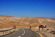 Israel, Judea Desert landscape Camels wondering on the roadside