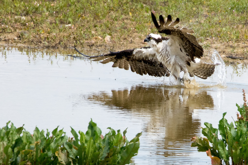 Osprey take off, Lagerman Reservoir, Longmont, Colorado