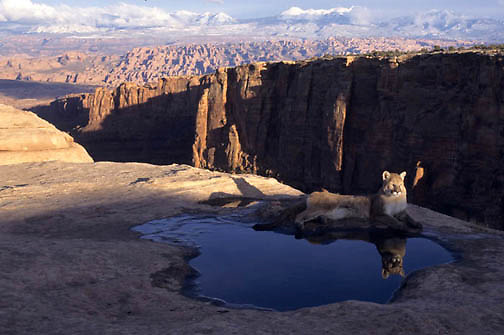 Mountain Lion or Cougar, (Felis concolor) Adult resting at water hole. Moab, Utah. Red rock country.  Captive Animal.